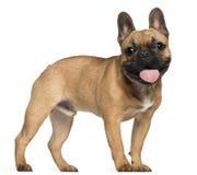 Bulldog francese, 7 mesi, levantesi in piedi Fotografie Stock Libere da Diritti