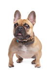 Bulldog francese beige Immagine Stock Libera da Diritti