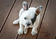 Bulldog francese bianco Fotografia Stock