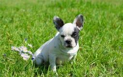 Bulldog francese bianco Fotografie Stock