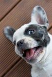 Bulldog francese bianco Immagini Stock