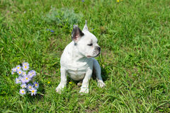 Bulldog francese bianco Immagini Stock Libere da Diritti