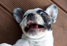 Bulldog francese bianco Immagine Stock