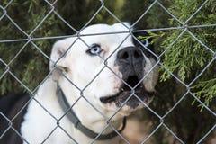Bulldog Francese Bianco Con Gli Occhi Azzurri Fotografia Stock