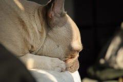 Bulldog francese immagine stock libera da diritti