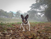 Bulldog francese che sta in mezzo della nebbia nell'inverno Fotografie Stock