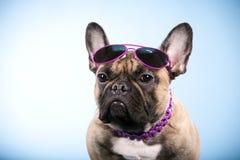 Bulldog francese con gli occhiali da sole Fotografia Stock