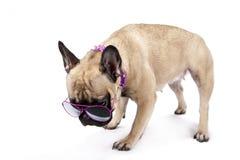 Bulldog francese con gli occhiali da sole Fotografia Stock Libera da Diritti