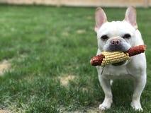 Bulldog francese con la pannocchia di granturco Immagine Stock Libera da Diritti