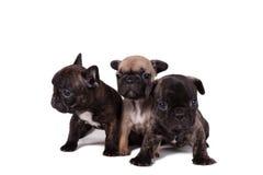 Bulldog francese dei cuccioli fotografia stock libera da diritti