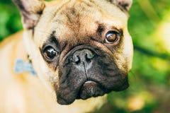Bulldog francese del cane Fotografia Stock Libera da Diritti
