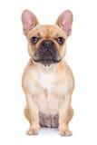 Bulldog francese del Fawn Fotografia Stock Libera da Diritti