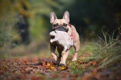 Bulldog francese del fawn sveglio in foresta che porta un giocattolo della peluche nel mussle immagini stock libere da diritti