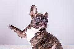 Bulldog francese di Brown nella posizione seduta fotografie stock