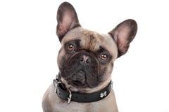 Bulldog francese isolato su bianco Immagine Stock Libera da Diritti