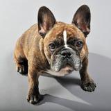 Bulldog francese maschio striato inverso adorabile Fotografie Stock Libere da Diritti