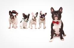 Bulldog francese messo che indossa cravatta a farfalla rossa davanti ai cani Fotografia Stock