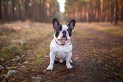 Bulldog francese nella foresta Fotografia Stock