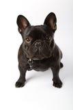 Bulldog francese nero Fotografia Stock Libera da Diritti