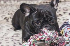 Bulldog francese nero che mastica il giocattolo del cane Bugie sul sofà fotografia stock