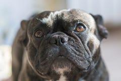 Bulldog francese nero con il fondo della sfuocatura Cane con gli occhi tristi Primo piano Fotografia Stock