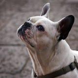 Bulldog francese - ritratto immagini stock libere da diritti