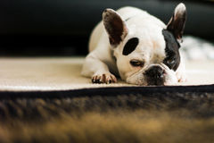 Bulldog francese sonnolento Fotografia Stock Libera da Diritti