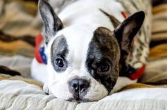 Bulldog francese sonnolento Immagine Stock Libera da Diritti