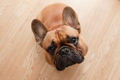 Bulldog francese su fondo di legno Immagine Stock