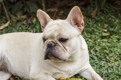 Bulldog francese sveglio Immagini Stock