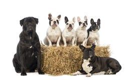 Bulldog francesi ed incroci che si siedono e che si trovano Fotografia Stock Libera da Diritti