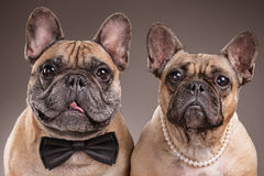 Bulldog francesi sopra fondo marrone immagine stock