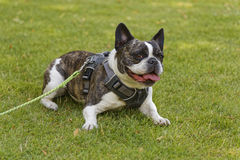 Bulldog Royalty Free Stock Photo