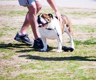 Bulldog and Friend. Pet bulldog having a good day with friends royalty free stock photos