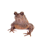 Bulldog frog, ophryophryne hansi, female on white. Bulldog frog, ophryophryne hansi, female isolated on white background Stock Photos