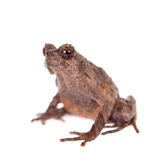 Bulldog frog, ophryophryne hansi, female on white. Bulldog frog, ophryophryne hansi, female isolated on white background Stock Image