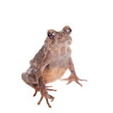 Bulldog frog, ophryophryne hansi, female on white. Bulldog frog, ophryophryne hansi, female isolated on white background Royalty Free Stock Images