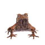 Bulldog frog, ophryophryne hansi, male on white. Bulldog frog, ophryophryne hansi, male isolated on white background Stock Images