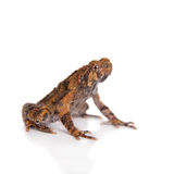 Bulldog frog, ophryophryne hansi, male on white. Bulldog frog, ophryophryne hansi, male isolated on white background Stock Photography