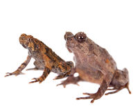 Bulldog frog, ophryophryne hansi, pair on white Stock Images
