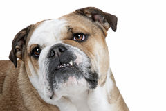 Bulldog in front of a white background Royalty Free Stock Images
