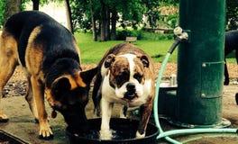 Bulldog and German Shepherd at park. By water royalty free stock photos