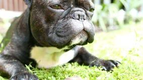 Bulldog gnaws the stick stock footage