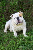 Bulldog on the grass Stock Image