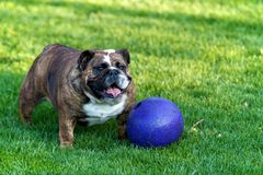 Bulldog in grass with purple ball Stock Photos