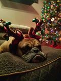 Bulldog the Grinch. Bulldog, Christmas Grinch oh-so-happy Stock Photo