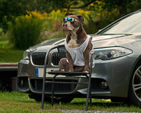 Bulldog guard the master's BMW. Sitting on a chair with sunglasses and shirt Royalty Free Stock Images