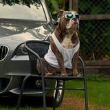 Bulldog guard the master's BMW Stock Image