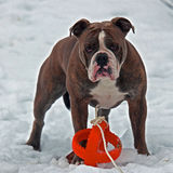 Bulldog guarding with a toy in snow Royalty Free Stock Photography