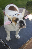 Bulldog in Halloween Headband of a cow Royalty Free Stock Photography
